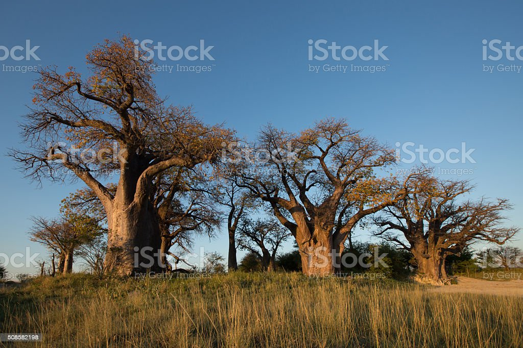Baines Baobabs in Botswana stock photo