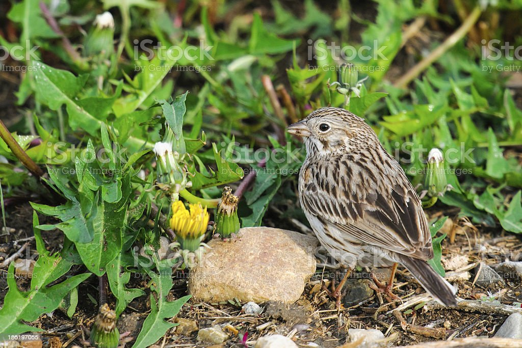 Baird's Sparrow (Ammodramus bairdii) stock photo