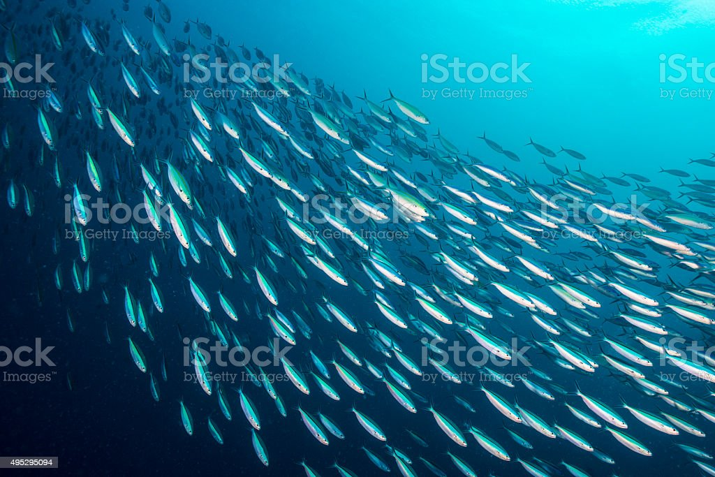 Bait Ball - Palau, Micronesia stock photo