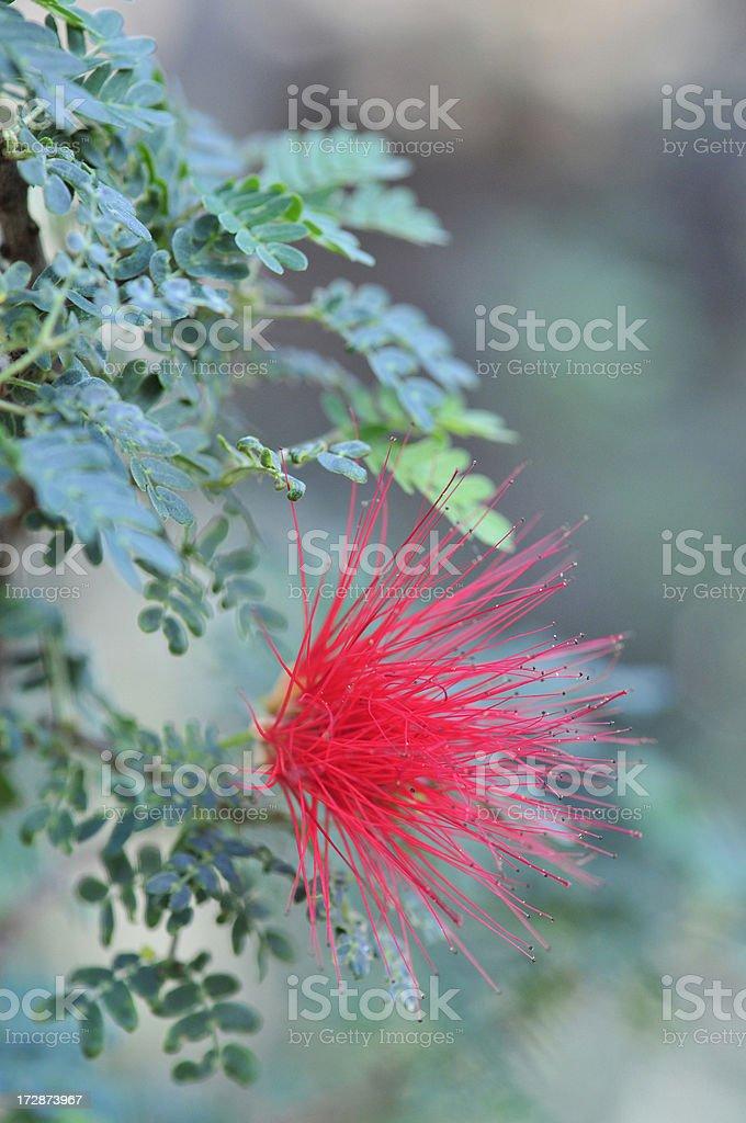 Baja Fairy Duster stock photo