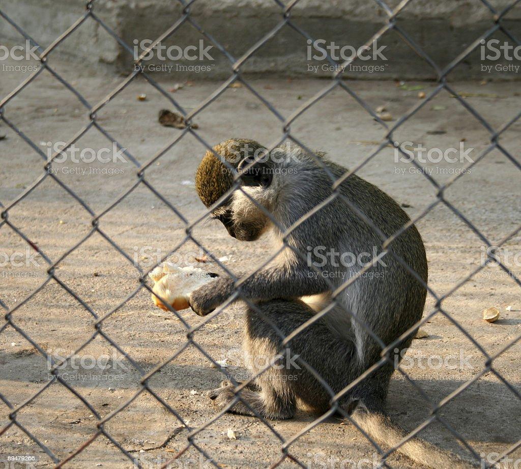 Bakery Snack - Monkey at Giza zoo in Egypt stock photo