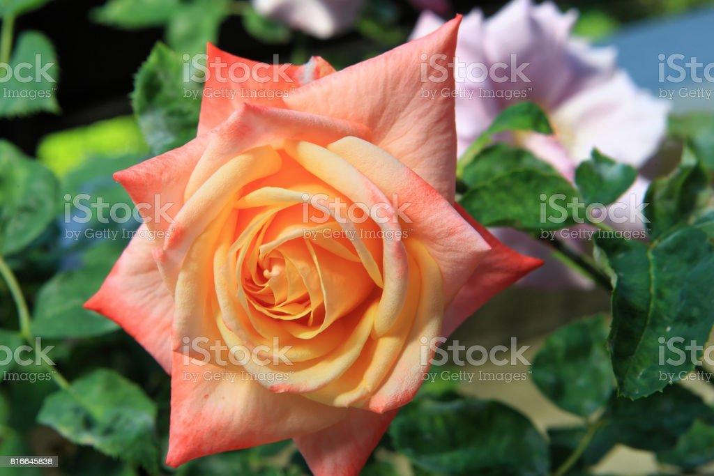 Bal Du Soir, Orange rose stock photo