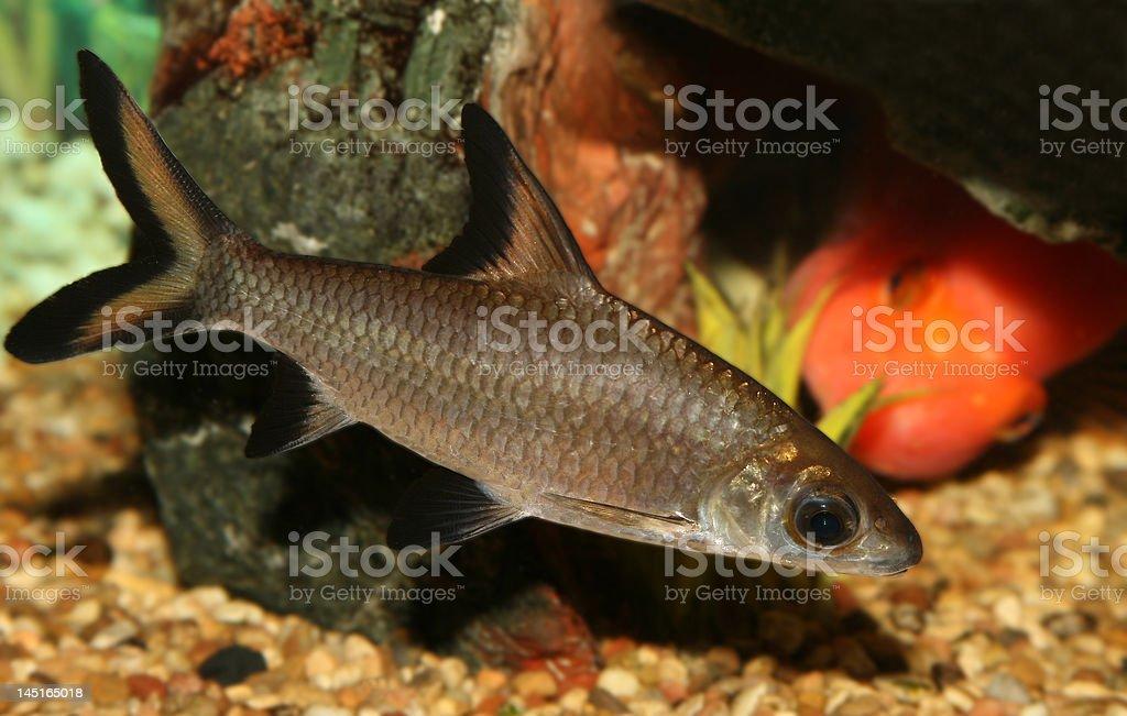 Bala shark fish. royalty-free stock photo