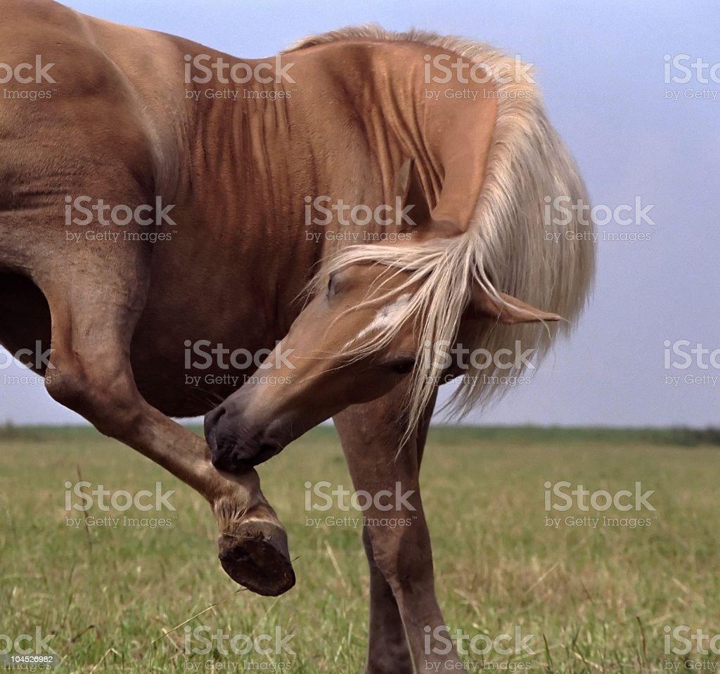 Balance - Haflinger horse snapshot stock photo