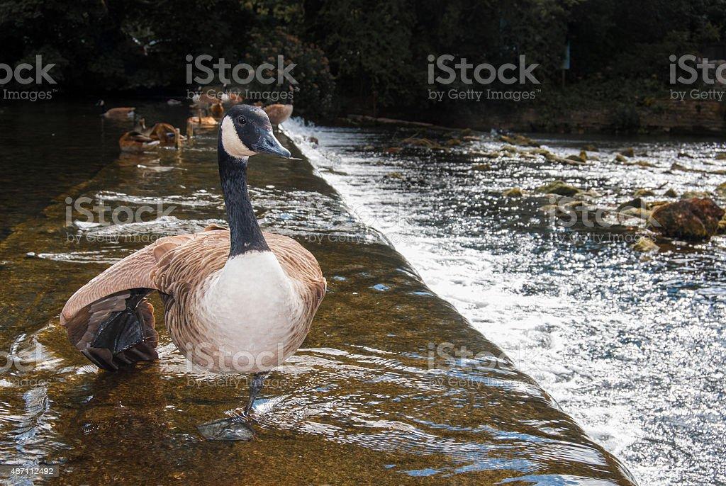Balancing Goose stock photo