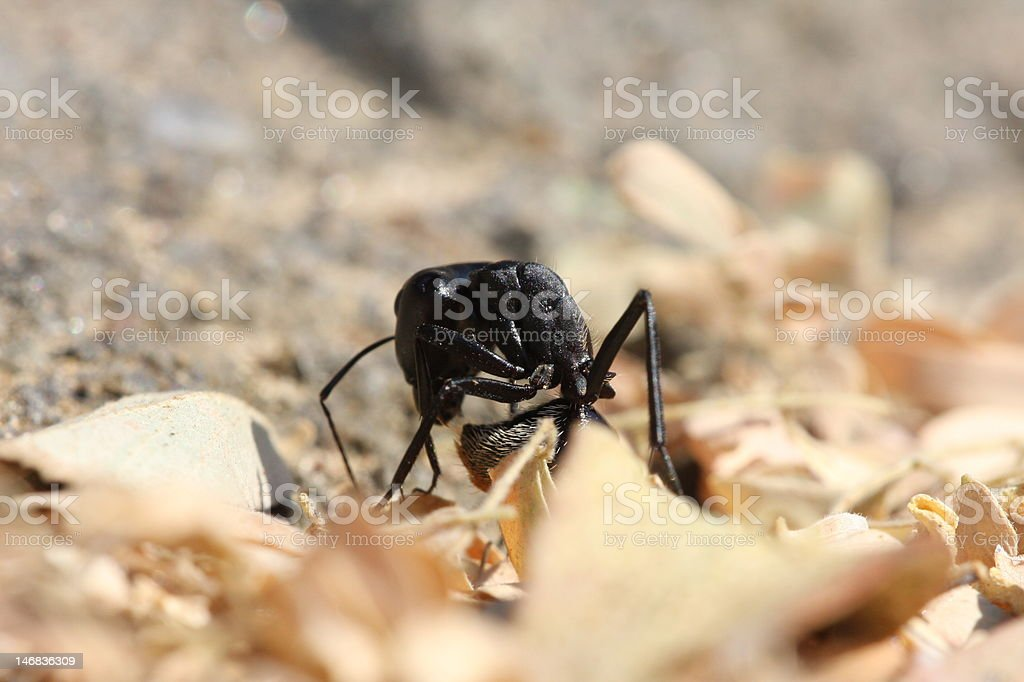 Bal-Byter ant stock photo
