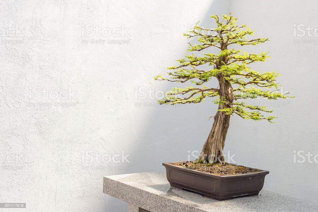 Bald Cypress Bonsai stock photo