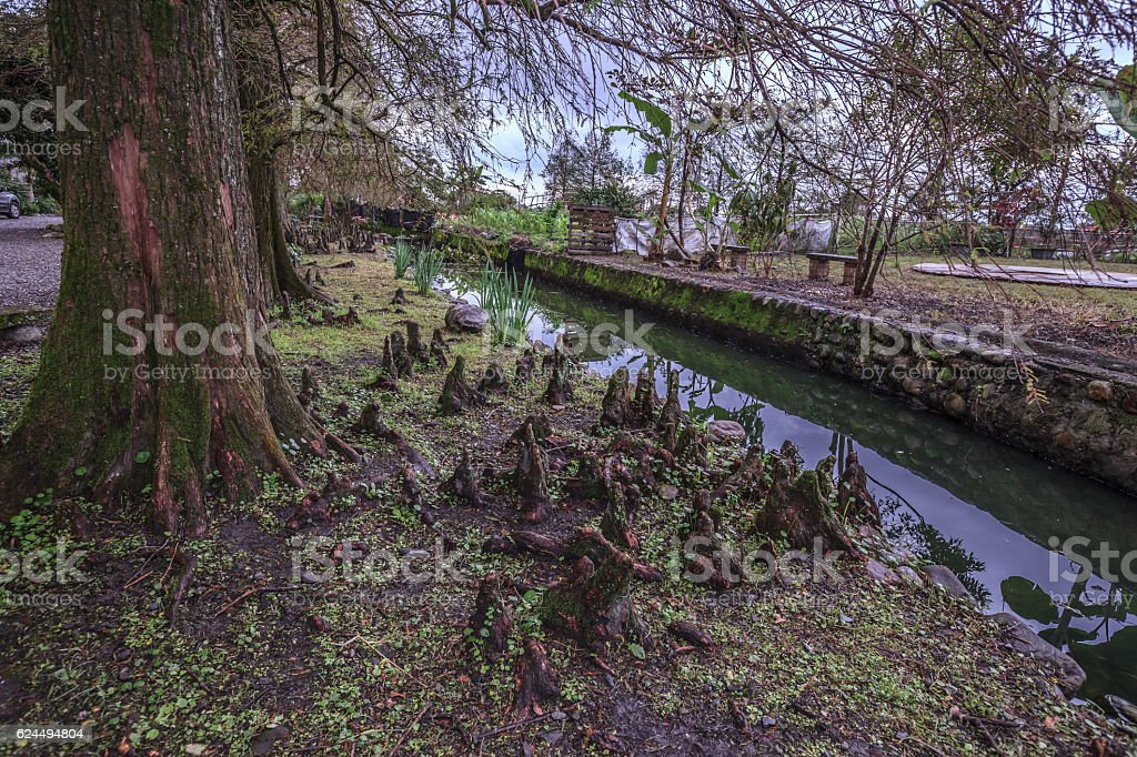 Bald Cypress in country side stock photo