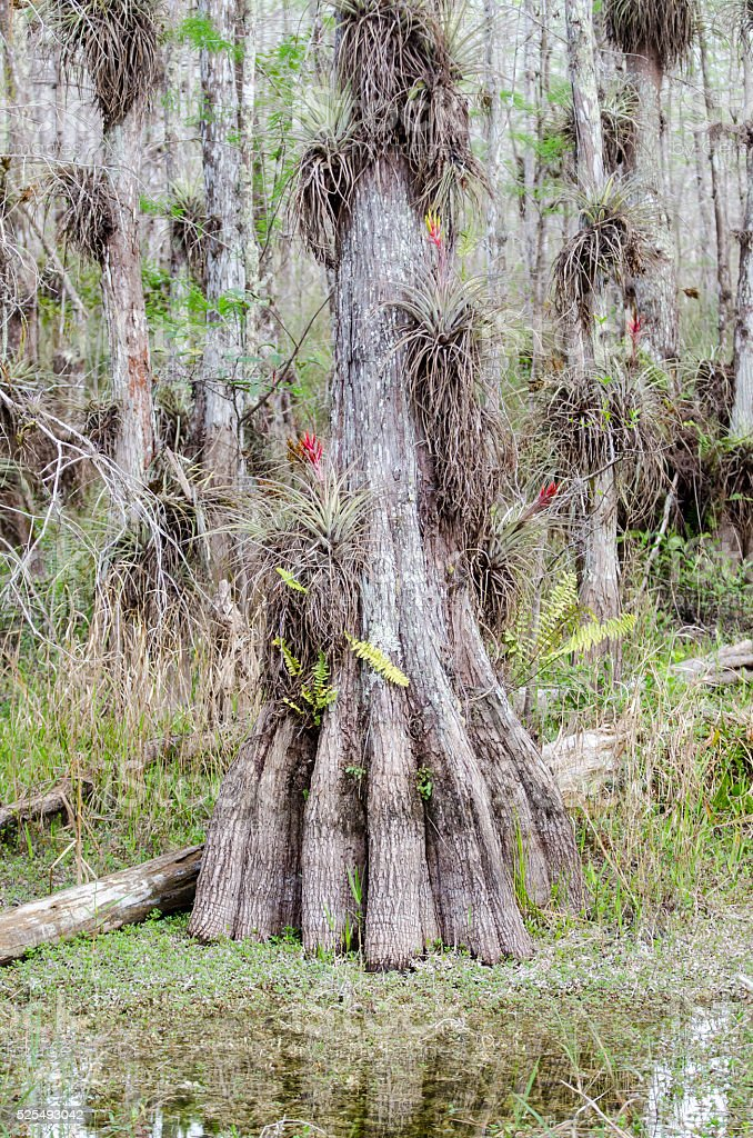 Bald Cypress tree in swamp. stock photo