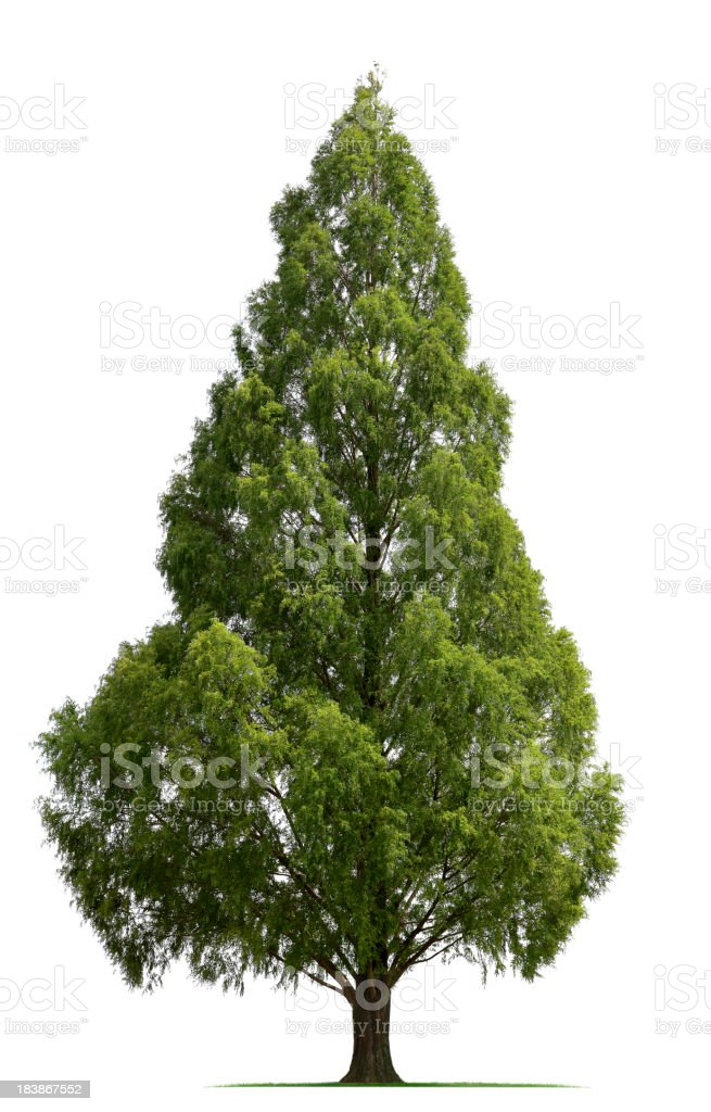 Bald Cypress Tree stock photo