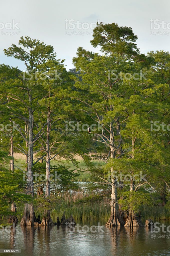 Bald cyprus trees osprey James River Colonial NHP Virginia stock photo