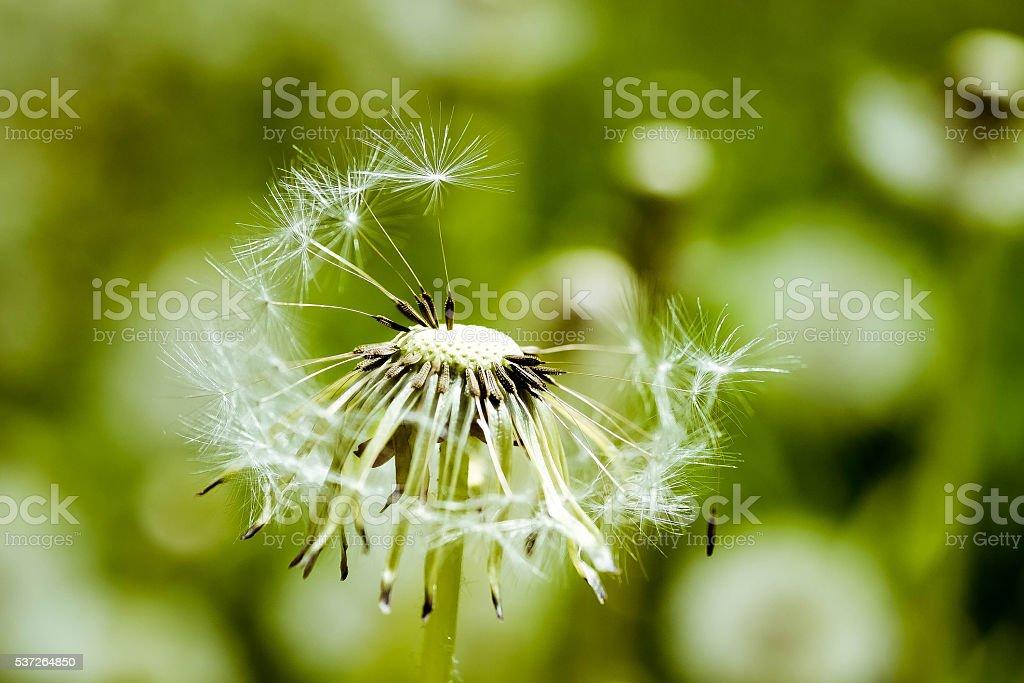 bald dandelion closeup stock photo