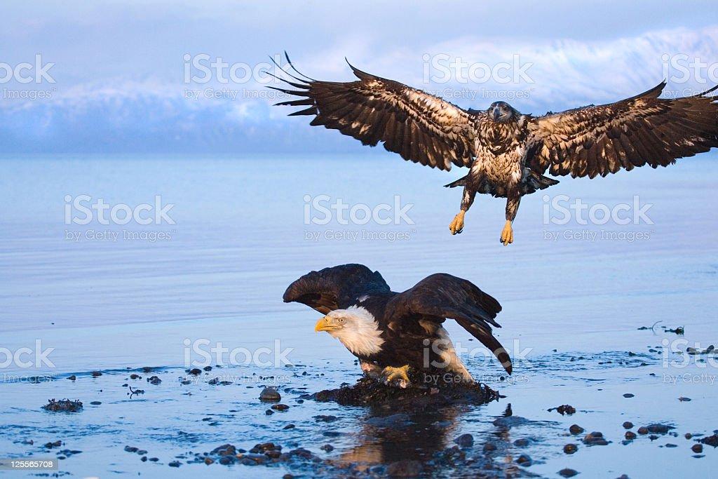 Bald eagle - Air Assault, Alaska stock photo