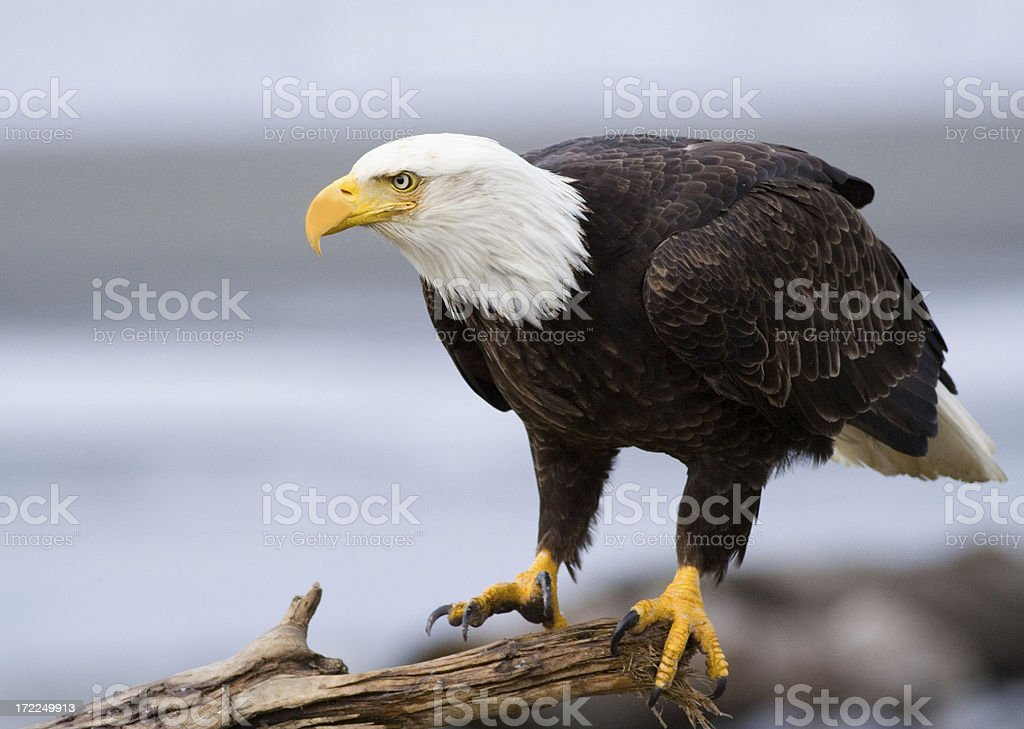 Bald Eagle, Alaska royalty-free stock photo