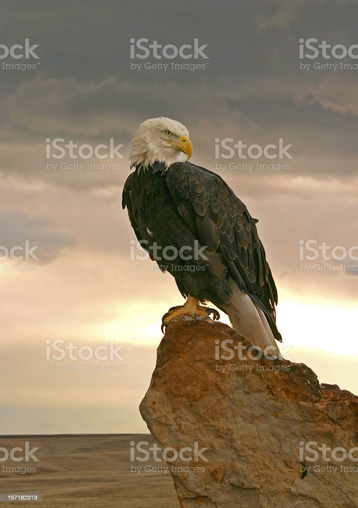 Bald Eagle at Sunrise stock photo