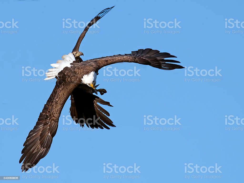 Bald Eagle Battle stock photo