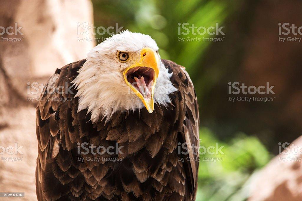 Bald eagle calling. stock photo