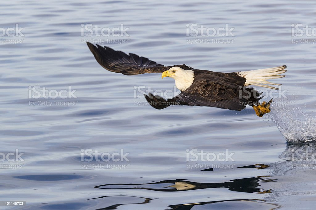 Bald Eagle Catching Fish royalty-free stock photo
