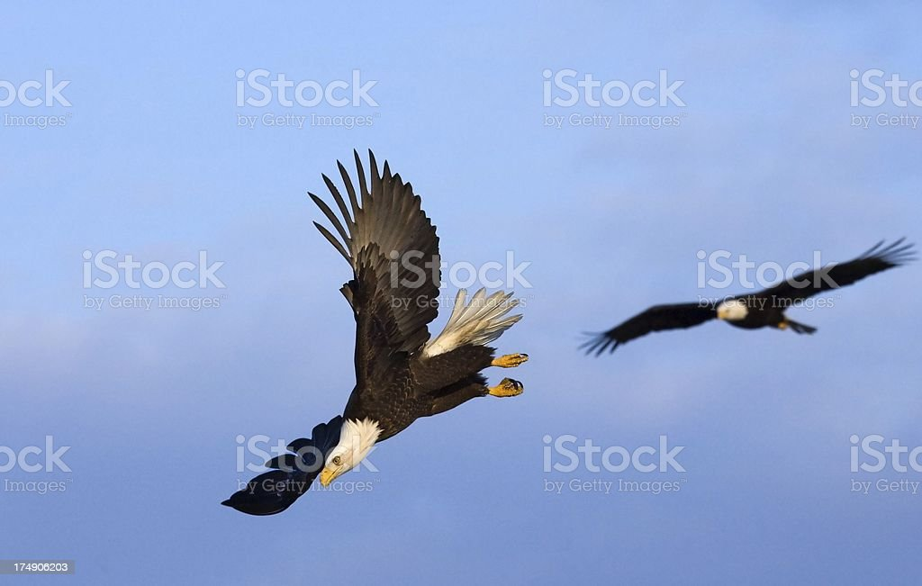 Bald Eagle - Dive Bombing Squadron, Alaska stock photo