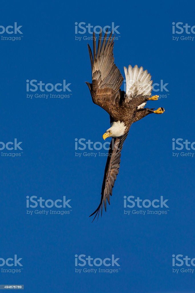 Bald Eagle dive stock photo