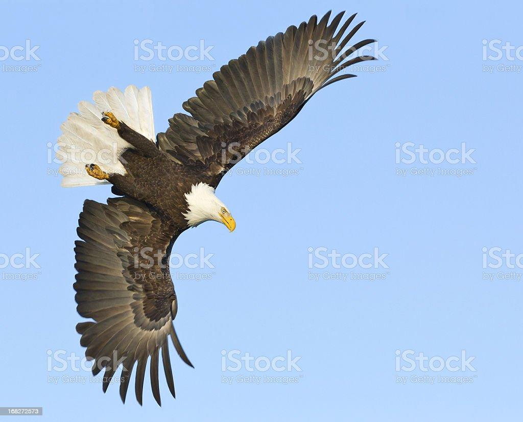 Bald eagle diving stock photo