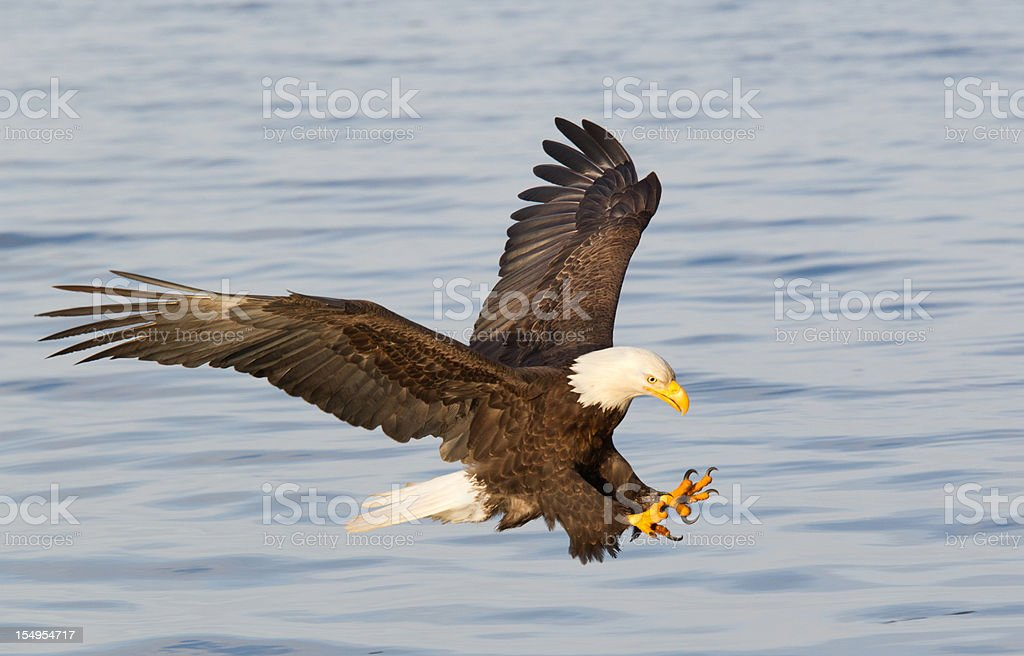 Bald eagle diving with wings outstretched stock photo