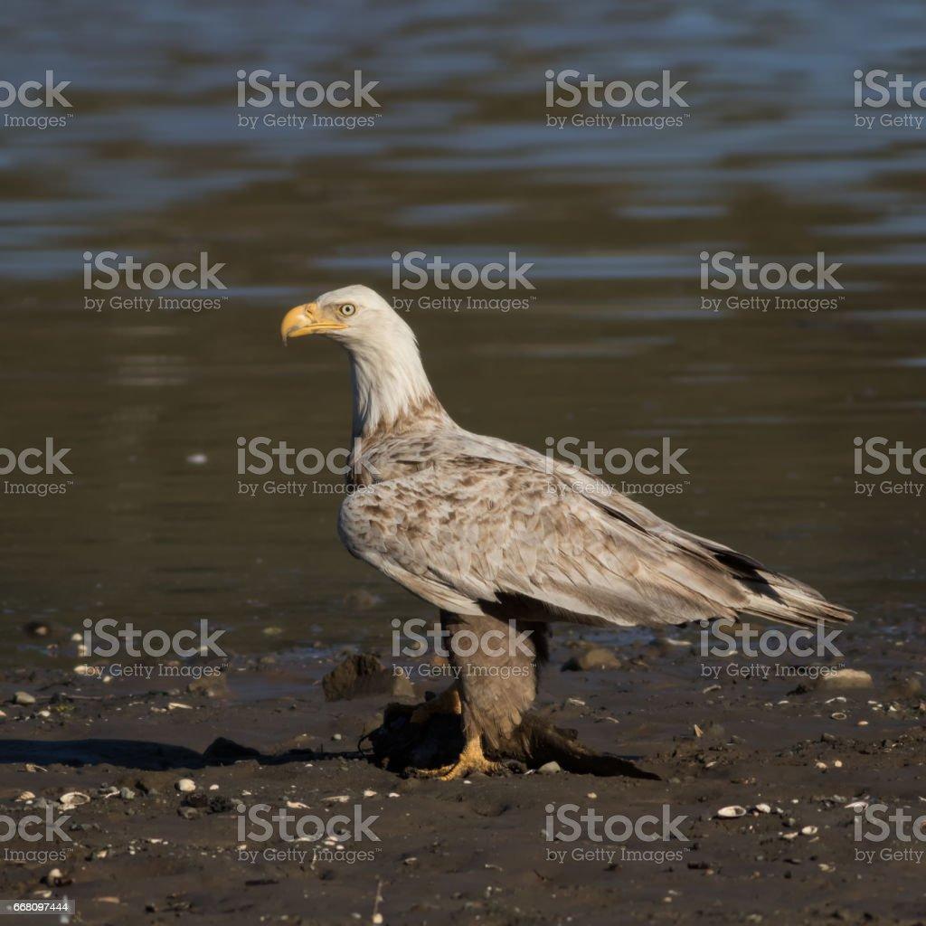 Bald Eagle Eating Fish stock photo