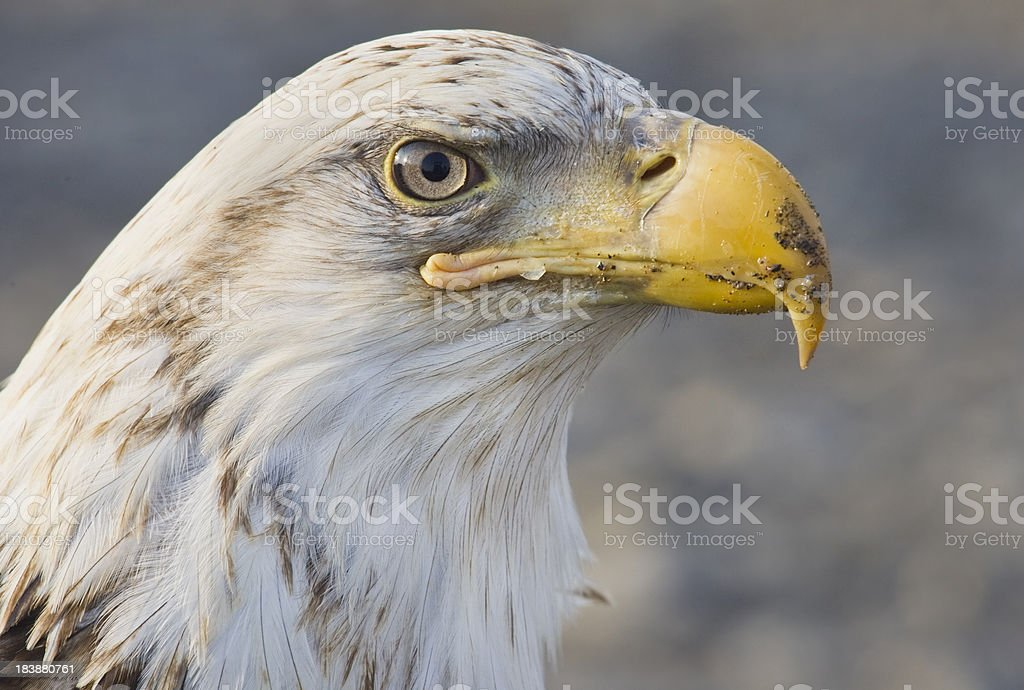 Bald Eagle Face, Alaska stock photo
