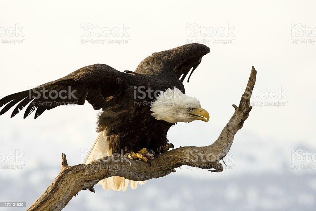Bald Eagle- Fierce Looking - Alaska royalty-free stock photo