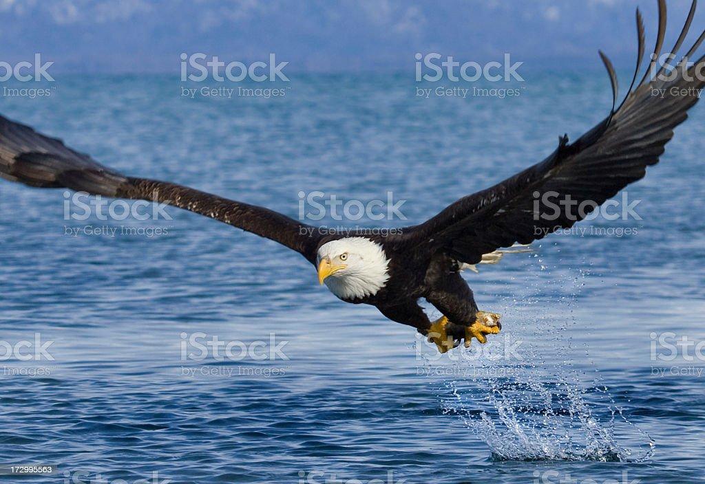 Bald Eagle - Fish in Talons, Alaska stock photo