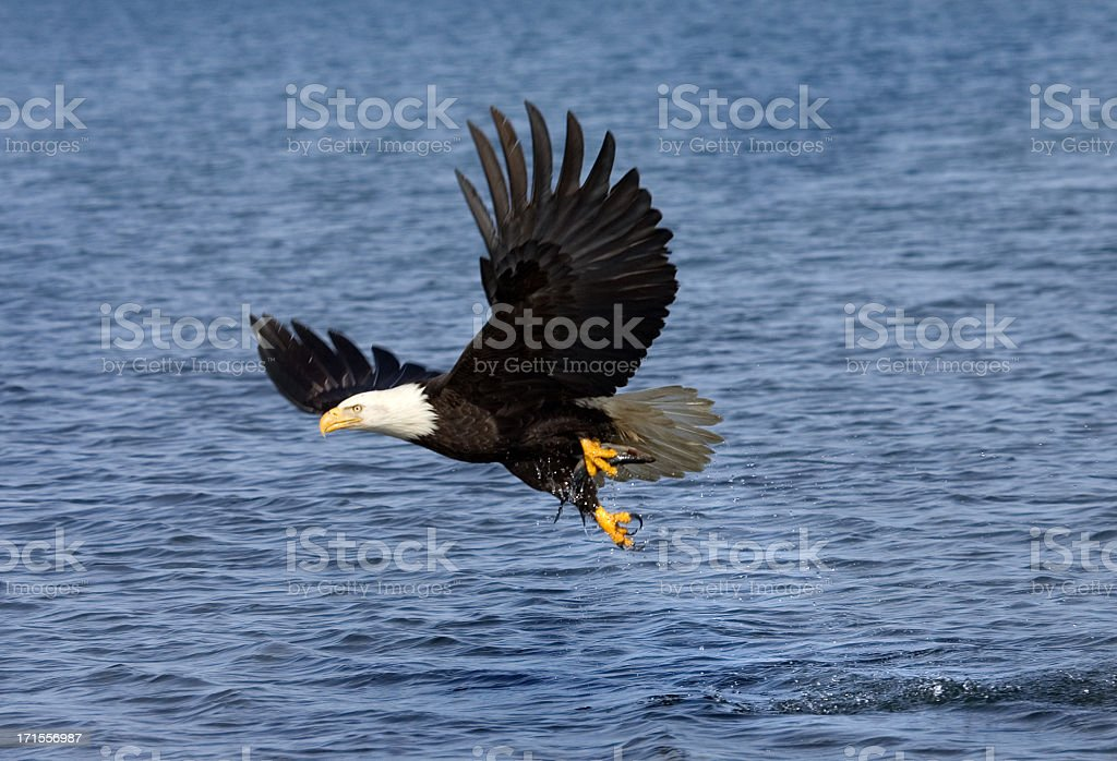 Bald Eagle Fish Snatch, Alaska royalty-free stock photo