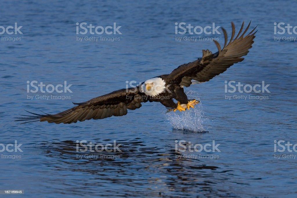 Bald Eagle Fishing - Alaska royalty-free stock photo