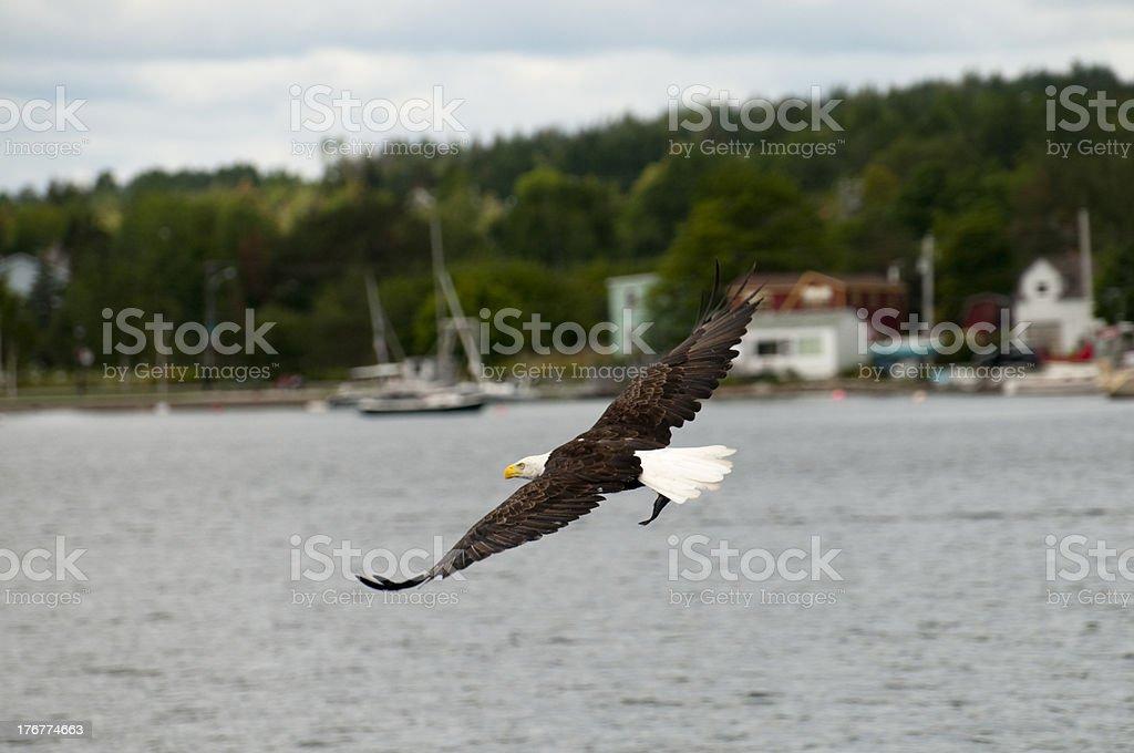 Bald Eagle Fishing stock photo