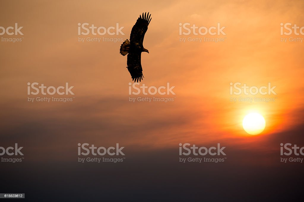 Bald Eagle flying at sunset with setting sun   copy space stock photo