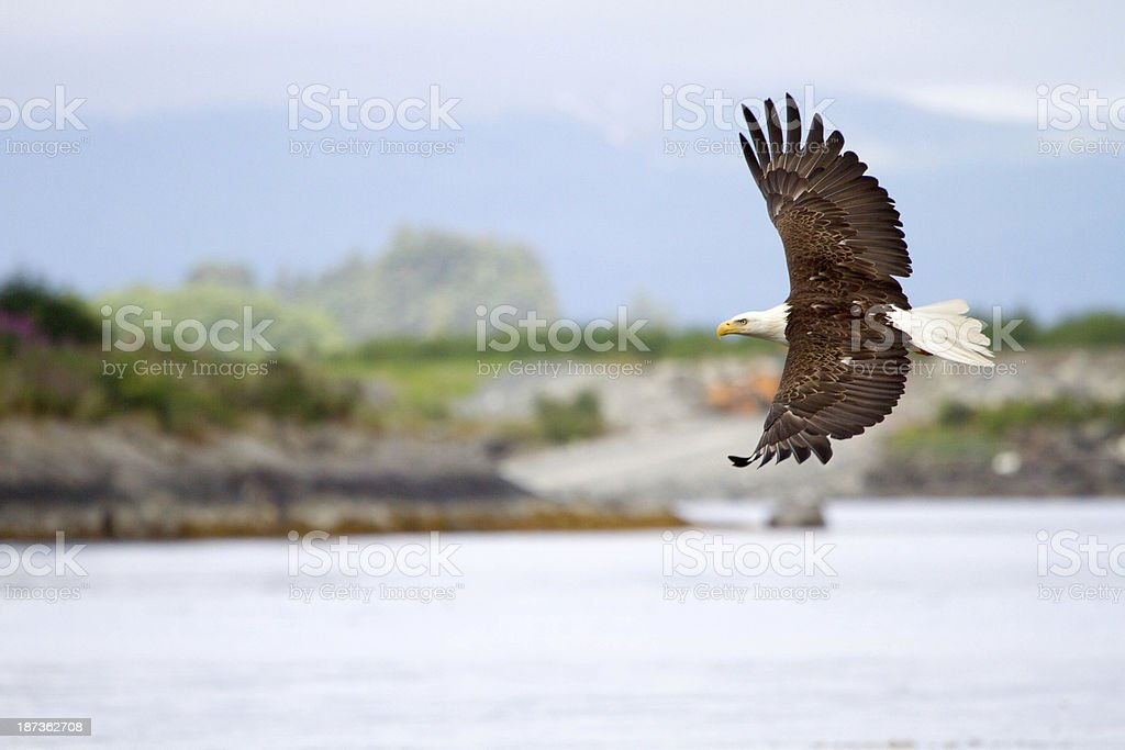Bald Eagle flying in Alaska stock photo
