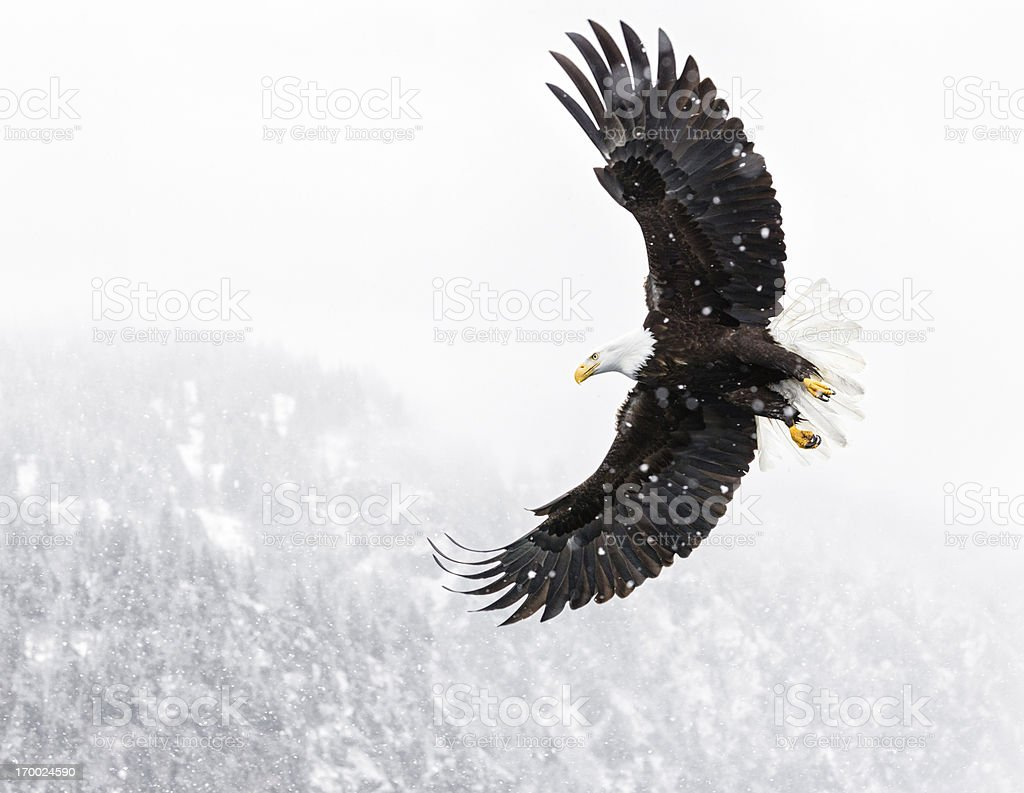 Bald Eagle Flying in Snow Storm stock photo