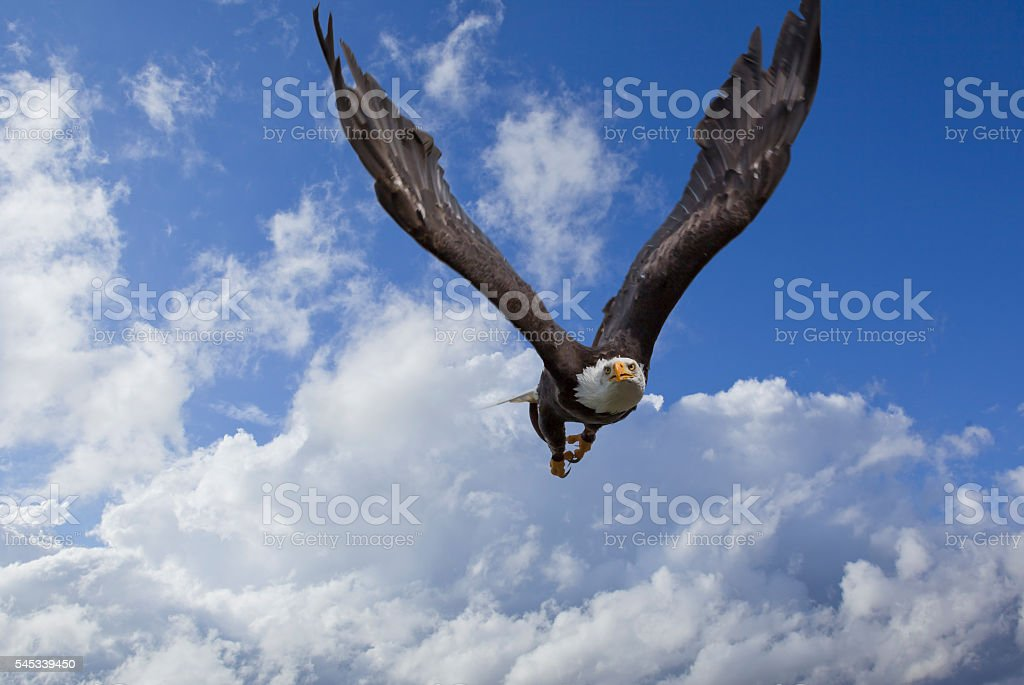 Bald eagle flying in the sky stock photo