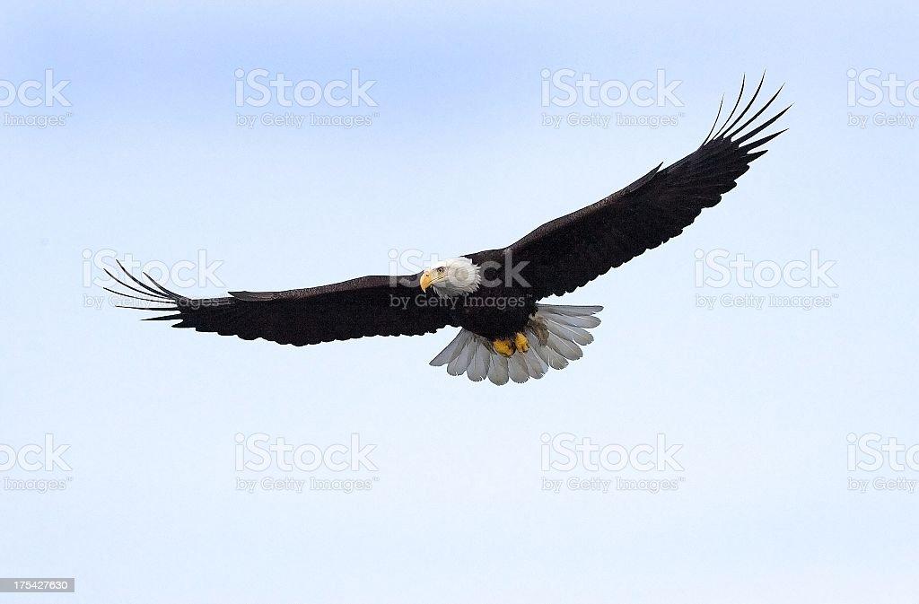 Bald Eagle flying isolated in Alaska stock photo