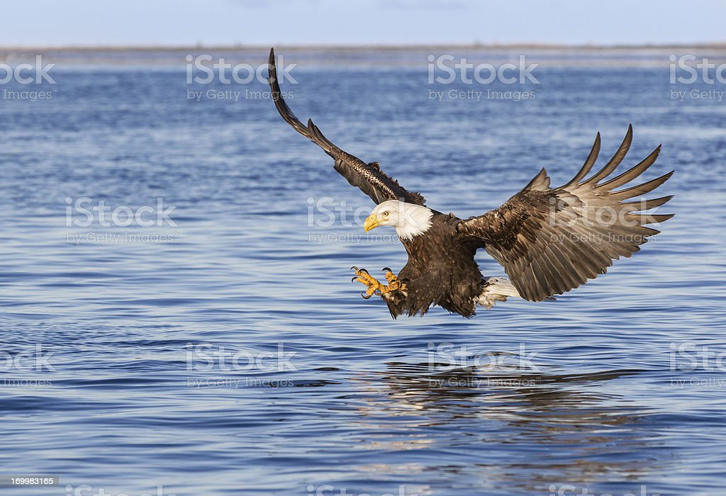 Bald Eagle diving to catch a fish in the ocean
