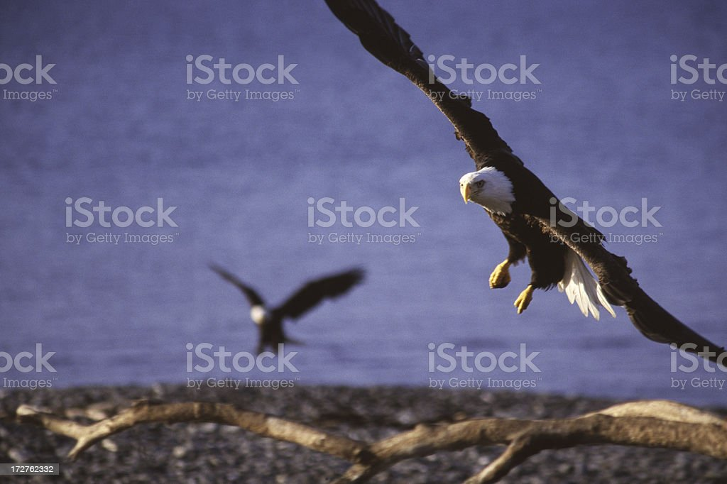 Bald Eagle Flying royalty-free stock photo