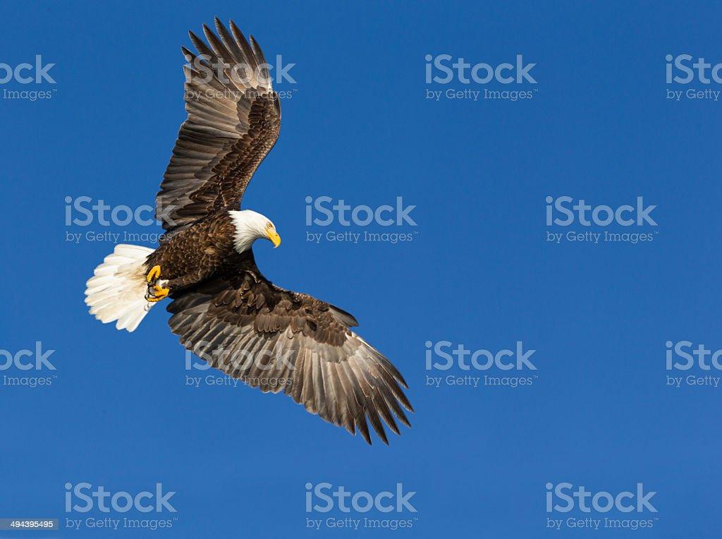 Bald Eagle Flying stock photo