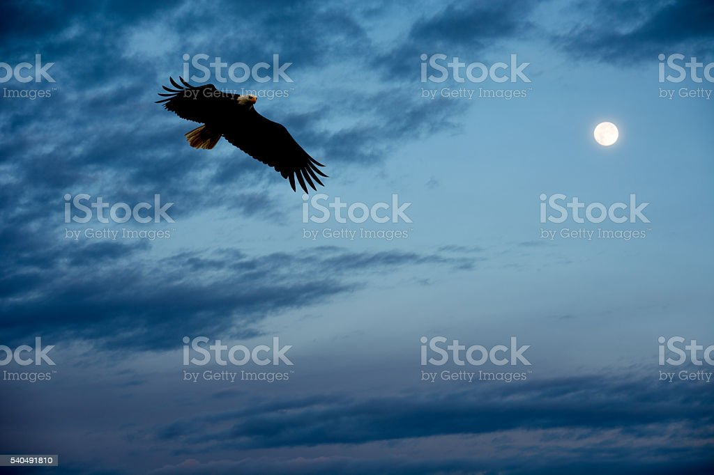 Bald Eagle flying to its roost at sunset with moon stock photo