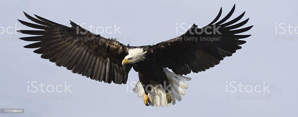 Bald Eagle from Alaska - Banner Crop stock photo