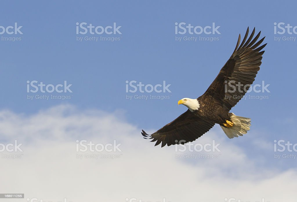 Bald eagle gliding against blue sky and white wispy clouds stock photo