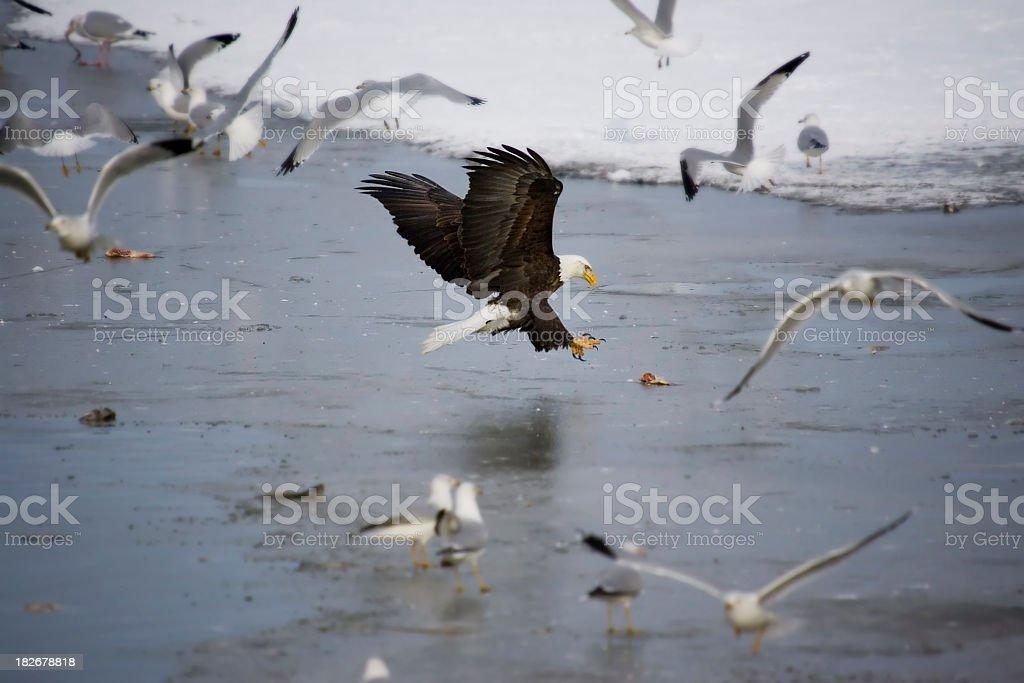 Bald Eagle Grabbing Fish on Ice royalty-free stock photo
