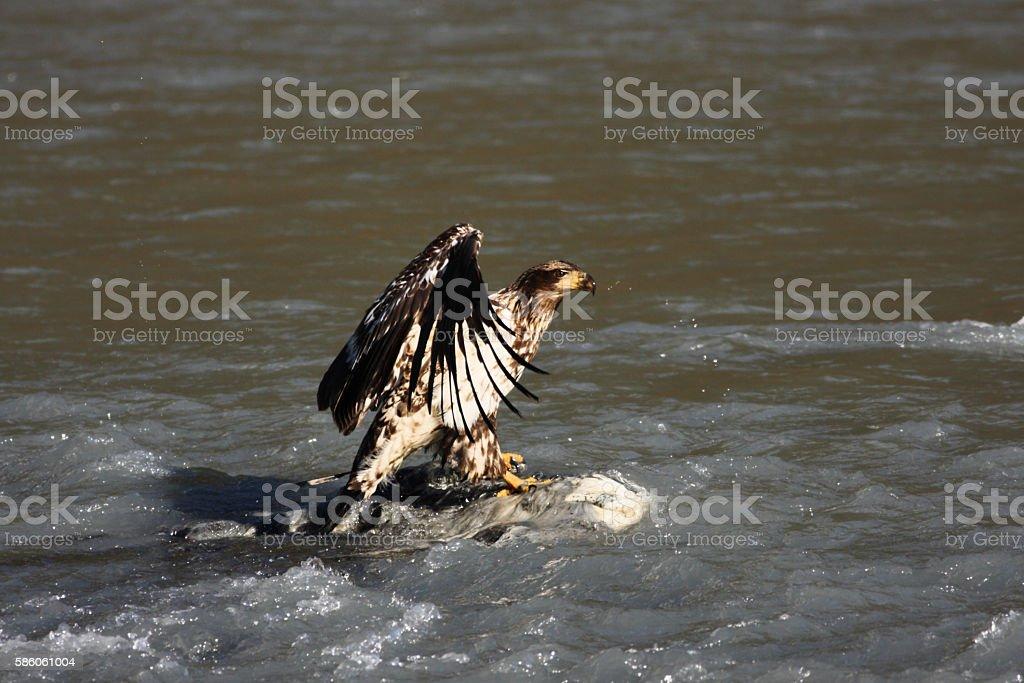 Bald Eagle Haliaeetus leucocephalus Carcass Feeding stock photo