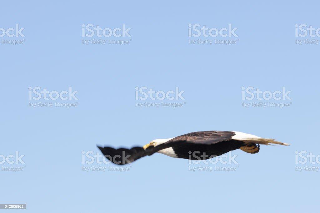Bald Eagle Haliaeetus leucocephalus Gliding Aerodynamically stock photo