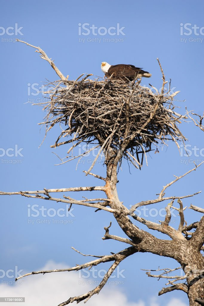 Bald Eagle Haliaeetus leucocephalus Nest royalty-free stock photo
