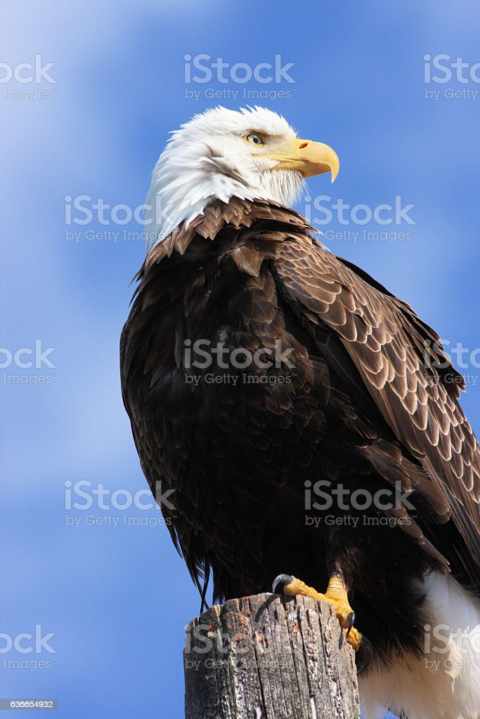 Bald Eagle Haliaeetus leucocephalus Perching stock photo