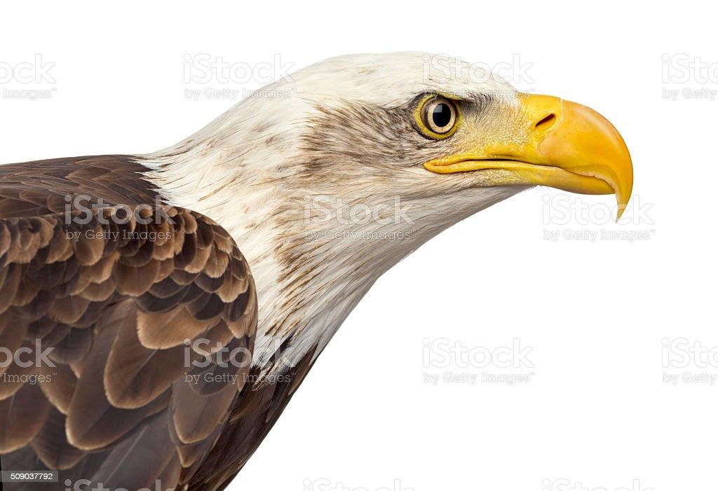 Bald eagle - Haliaeetus leucocephalus (12 years old) stock photo